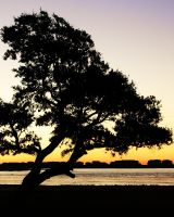 Live oak at dawn by bluemangoimages