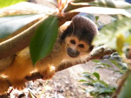 Squirrel Monkey by YesOwl