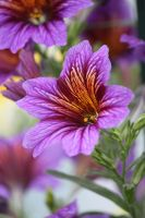 salpiglossis royale 2 by CASPER1830