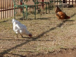 South Africa Series-Chickens by maromichan