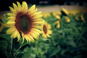 Tournesol by Ludooo