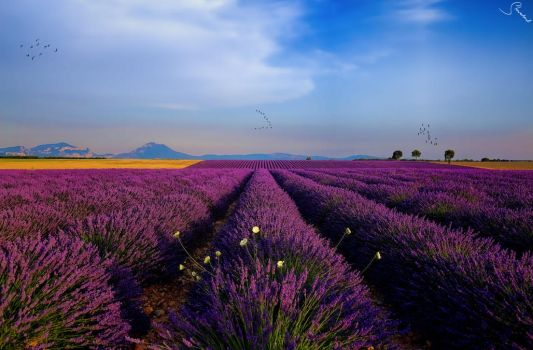 Flocks over Valensole by steveland67