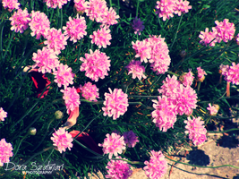 Seaside Armeria by szdora91