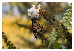 my second monarch butterfly by yellowcaseartist