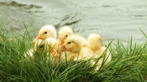 Ducklings by T-Ann-Photography
