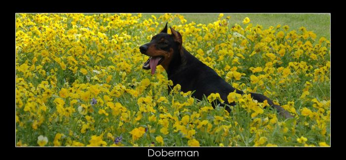 Doberman by webusta