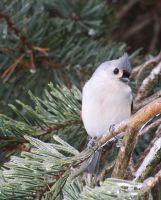 Titmouse in Winter by tidesend