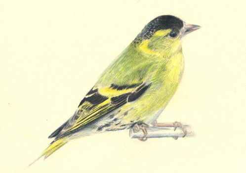 carduelis spinus lucherino siskin by blootes
