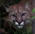 Cougar by Henrieke