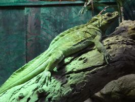 Sailfin Lizard 02 by lizardman22