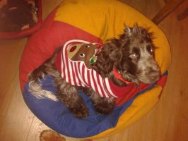 Our Puppy Hamish 7 with Xmas jumper by XKitsuneXNekoX