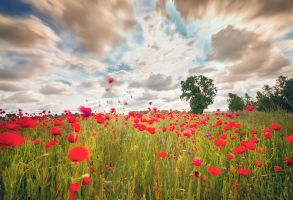 Poppy fields by Torsten-Hufsky