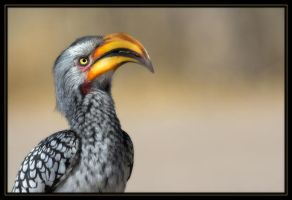 Hornbill by Bahaloo