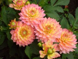 my favourite dahlias by ingeline-art