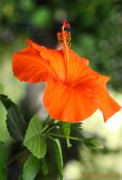 Orange Hibiscus by theresahelmer