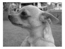 Musings of a Chihuahua by spirals