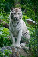Tiger - White Tiger by Frangster