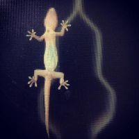 Gecko by micahgoulart