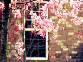Cherry Blossoms by Wildaboutyou