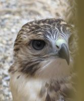 Young Red-Tailed Hawk 4 by Windthin