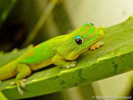 Gold dust day gecko 18 by kitty974