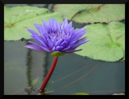 Water Lily by lexxi