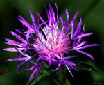 Spotted Knapweed by sugartwins
