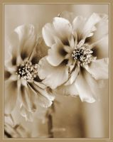 Flowers in Sepia. by Inadesign