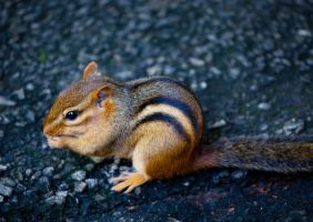Chipmunk by deseonocturno