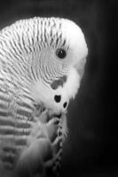 Parakeet Profile by Tjpower11