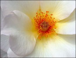 WHITE ROSE 407 by THOM-B-FOTO