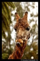Eating Giraffe by TVD-Photography