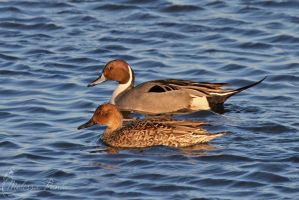 Pintails by mydigitalmind