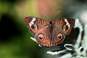 Buckeye Butterfly Beauty by Monkeystyle3000