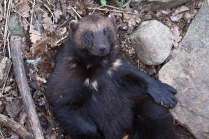 Wolverine on its back by JRL5