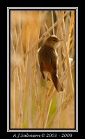 Reed Warbler by andy-j-s
