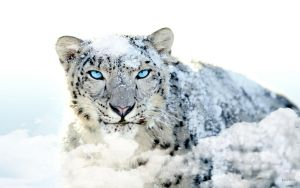 EgFox Snow Leopard HD Blue Eye by Eg-Art