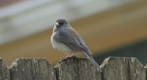 Junco by Laur720