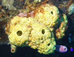 Yellow Tube Sponges by aa7ae