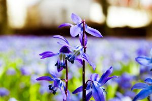 Blue Lily of the Valley by Artursphoto
