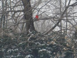 Red Bird, cold day by mandy45503