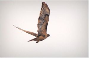 Redtail Hawk in Flight by SuicideBySafetyPin