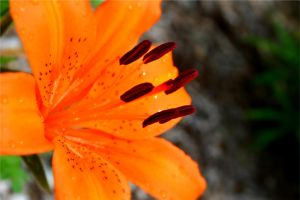 Orange Lilly by creeperdude