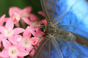 Blue Morpho by XylidineGriffin