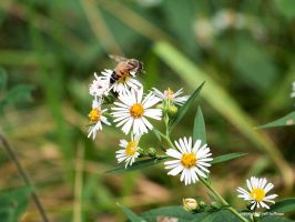 White Asters and Bee by JamDebris
