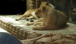 The Lionesses of MGM by MarinaMoon