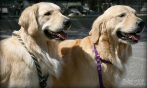 2 Goldens by shutterwolf87