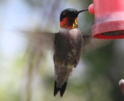 Male ruby throated hummingbird by paws720
