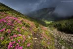 Calimani Mountains, Rhododendron flowers by BerarAdrian