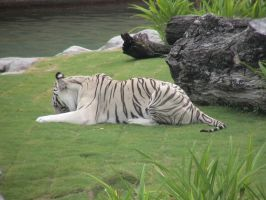 White Tiger 12 by dlc-nature-stock